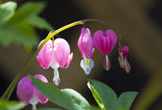 Pink Bleeding Heart Flowers. Sunlit macro of a bleeding heart plant in bloom.  Blooms of the bleeding heart plant (Dicentra spectabilis) appear in early spring Royalty Free Stock Photo