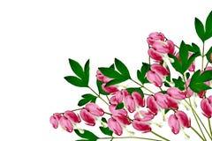Pink Bleeding Heart Royalty Free Stock Photography