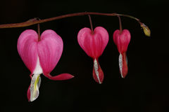 Pink bleeding heart Royalty Free Stock Photo