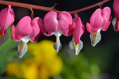 Pink bleeding hearts flowers Royalty Free Stock Photos