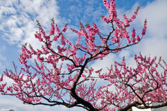 Pink blommor för den sakura Cherryblomningen i Hakone, Japan arkivbilder