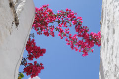 Pink blommor mellan vita väggar Royaltyfria Bilder