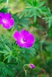 Blood geranium flowers. Pink blood geranium flowers Geraniaceae royalty free stock photo