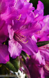 Pink Bloom. A pink rhodedendron bloom in the spring Royalty Free Stock Photography