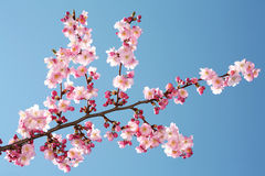 Pink bloom. Blossom blue sky spring season nature beauty Stock Image