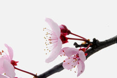 Pink bloom Royalty Free Stock Photos