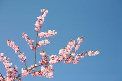 Pink bloom brunch. Pink bloom blossom blue sky spring season nature beauty Royalty Free Stock Photography