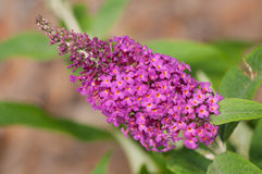 Pink bloom of a Butterfly Bush Royalty Free Stock Image