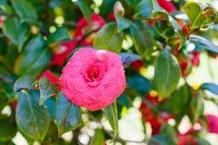 Pink bloom of camellia bush after spring rain Stock Images