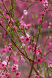 Pink bloom Stock Photography