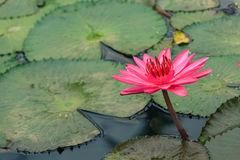 Pink bloom lotus in a pond with green leaf floating around. Pink bloom lotus in a pond with circular green leaf floating around Royalty Free Stock Photos