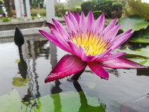 Pink bloom Lotus in water Royalty Free Stock Images