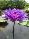 Pink bloom Lotus in water Royalty Free Stock Photo