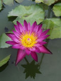 Pink bloom Lotus in water Stock Photo