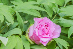 Pink bloom Paeonia suffruticosa. Copy-space Royalty Free Stock Photography
