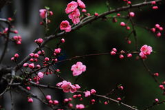 Pink bloom on peach tree Royalty Free Stock Photos