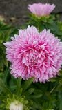 Pink bloomer. Chrysanthemum pink beauty flower Stock Images