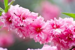 Pink blooming Stock Photography