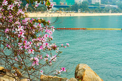 Pink blooming bauhinia in Repulse bay Stock Image