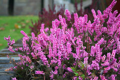 Pink blooming of the beautiful heather Stock Photography