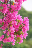 Pink blooming bougainvillea flowers Stock Photos