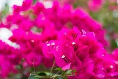 Free Pink Blooming Bougainvilleas Royalty Free Stock Photo - 79426895