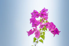 Pink blooming bougainvilleas against the blue sky background Royalty Free Stock Photography