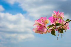 Pink blooming bougainvilleas against the blue sky Royalty Free Stock Photo
