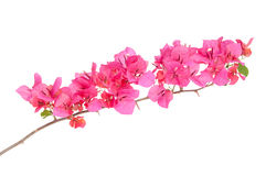 Pink blooming bougainvilleas Stock Image