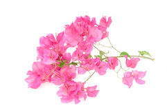 Pink blooming bougainvilleas Royalty Free Stock Images