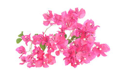 Pink blooming bougainvilleas Royalty Free Stock Photo