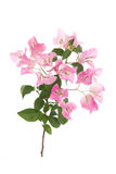 Pink blooming bougainvilleas on white background Royalty Free Stock Photography