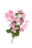 Pink blooming bougainvilleas on white background Royalty Free Stock Photo
