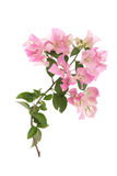 Pink blooming bougainvilleas on white background Stock Photo