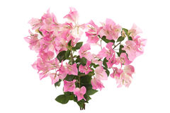 Pink blooming bougainvilleas on white background Stock Image