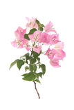 Pink blooming bougainvilleas on white background Stock Photography