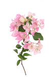 Pink blooming bougainvilleas on white background Stock Photos