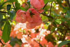 Pink blooming branch with ray of sunshine Stock Photography