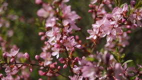 Pink blooming branches swaying in the wind stock video