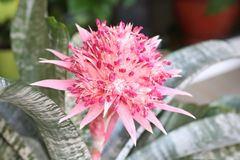 Pink blooming bromeliad in summer Stock Photos