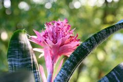 Pink blooming bromeliad in summer Stock Photo