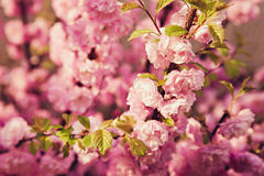 Pink blooming bud macro shot Stock Photo