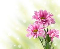 Pink blooming chrysanthemum flowers Royalty Free Stock Photography