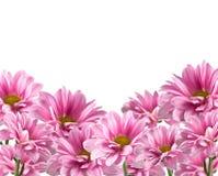 Pink blooming chrysanthemum flowers  on white Stock Image