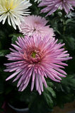 Pink blooming Chrysanthemum. Pink chrysanthemum fully bloomed in a pot Stock Images