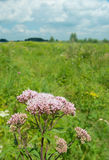 Pink blooming Common Hemp Agrimony Royalty Free Stock Photo