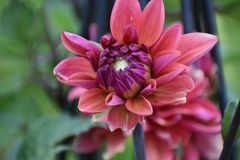 Pink Blooming Dalia Stock Images