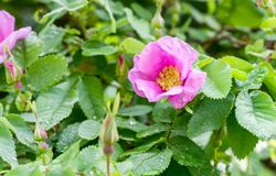 Dog rose with dew drops. Pink blooming dog rose with dew drops stock image