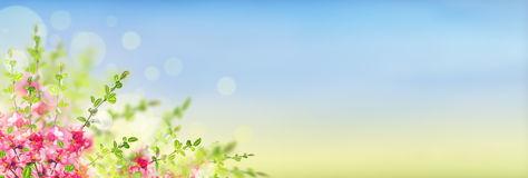 Pink blooming flowers bush on sunny landscape background with bokeh, banner. Pink blooming Japanese quince flowers bush on sunny landscape background with bokeh Stock Photography