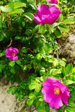 Pink blooming flowers of climbing Rosa canina shrub, commonly known as the dog rose or wild rose growing on dunes at the seaside. Royalty Free Stock Photos
